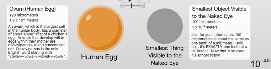 human-egg